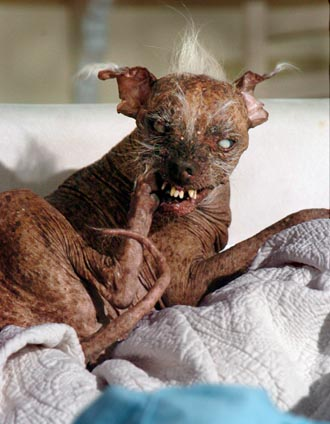 Lil Sam, the World's Ugliest Dog